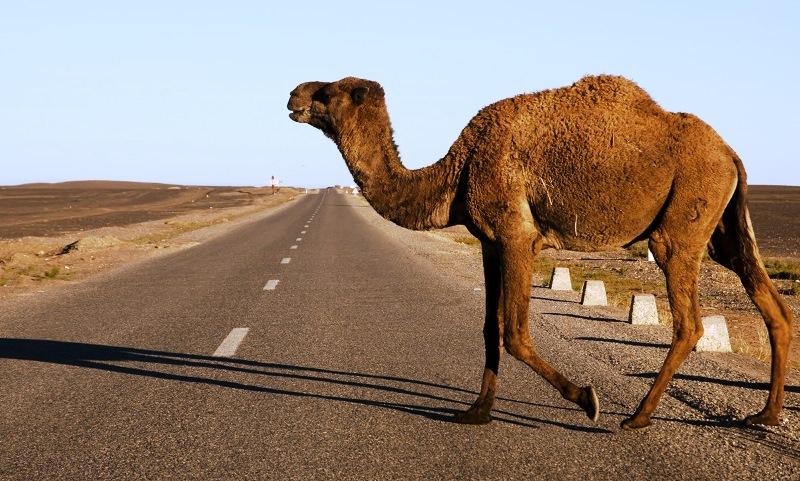 Crossing camel - Morocco