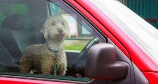 Dog in a hot car - GEM Motoring Assist